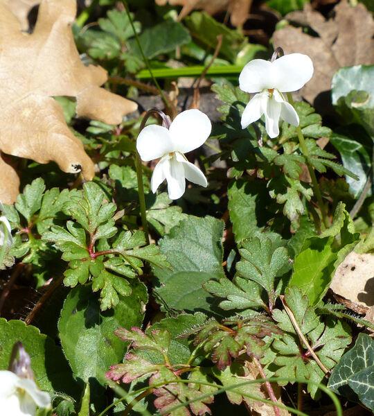 Viola alba Besser subsp. alba