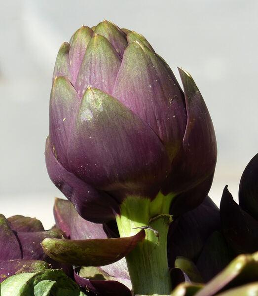 Cynara cardunculus L. 'Spinoso di Sardegna'