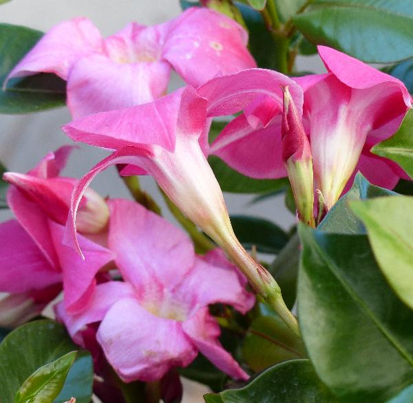 Mandevilla sanderi (Hemsl.) Woodson 'Rio Pink'