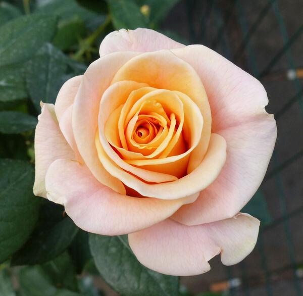 Rosa 'Marilyn Monroe ™'