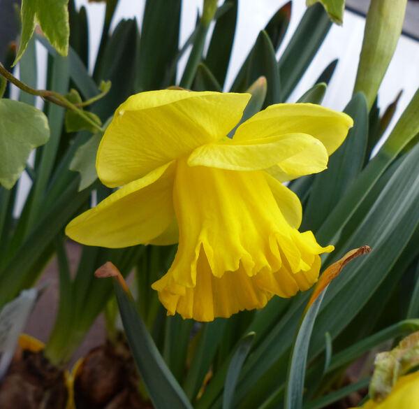 Narcissus 'Gold Medal'