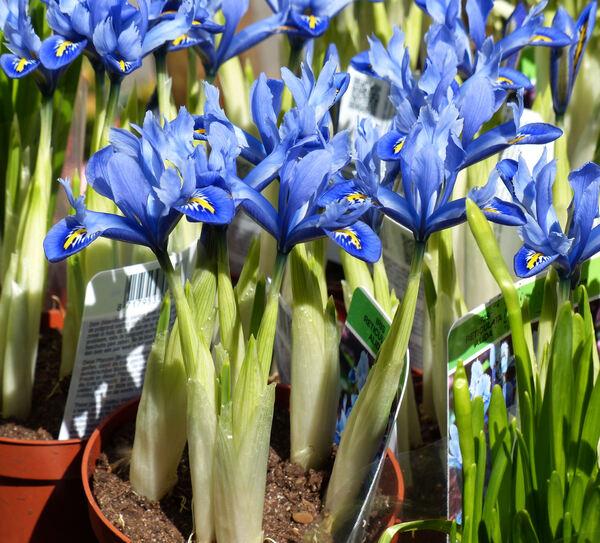 Iris reticulata M.Bieb. 'Alida'