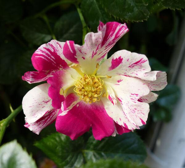 Rosa 'Vihaipi ®'