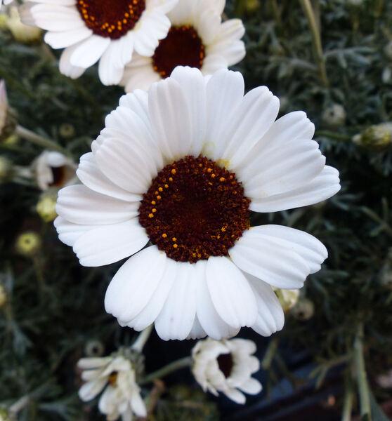 Rhodanthemum sp.
