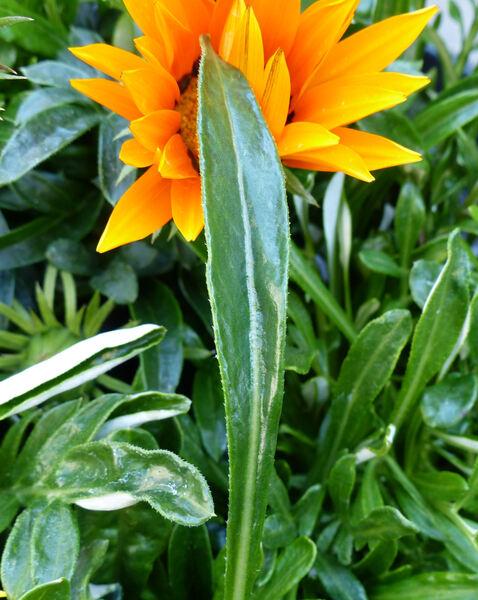 Gazania sp. (cultivar)