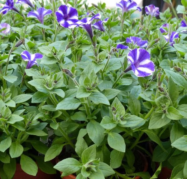 Petunia sp.