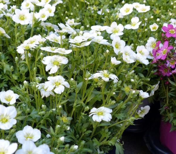Saxifraga sp. (cultivar)
