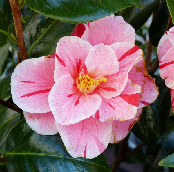 Camellia japonica L. 'Oki-no-nami'