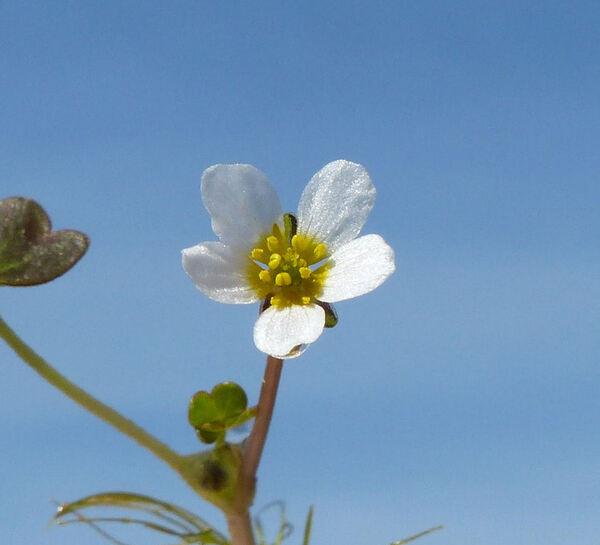 Ranunculus baudotii Godr.