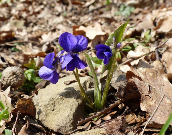 Viola alba Besser subsp. dehnhardtii (Ten.) W.Becker