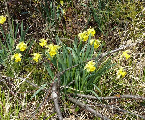 Narcissus pseudonarcissus L. subsp. pseudonarcissus