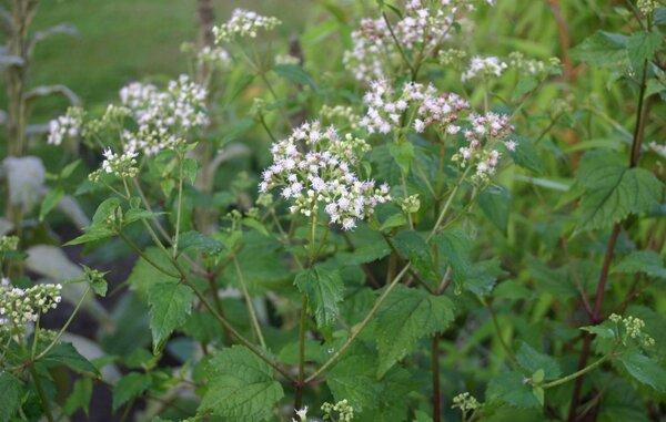 Ageratina altissima (L.) R.M.King & H.Rob.