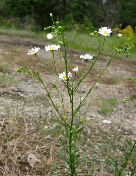 Erigeron strigosus Mühl. ex Willd.