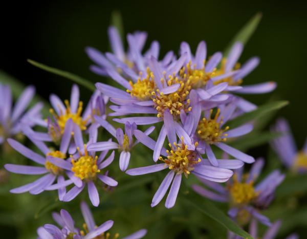 Galatella pannonica (Jacq.) Galasso, Bartolucci & Ardenghi subsp. tripolium (L.) Galasso, Bartolucci & Ardenghi
