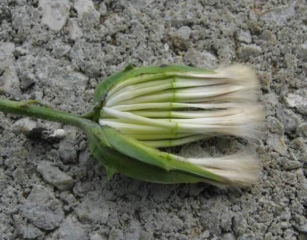 Scorzonera laciniata L. subsp. decumbens (Guss.) Greuter