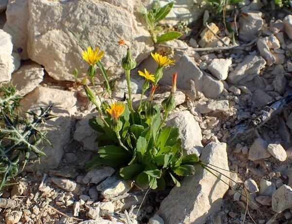 Reichardia intermedia (Sch.Bip.) Samp.