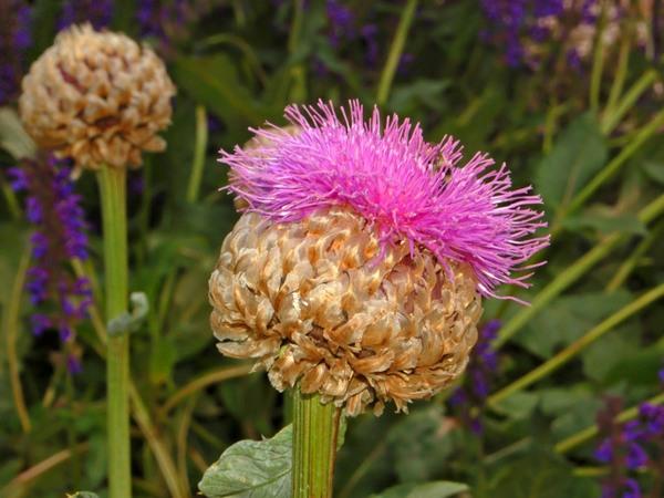 Rhaponticum heleniifolium Godr. & Gren.