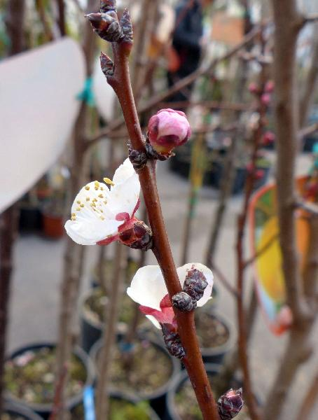 Prunus armeniaca L. 'Nano'