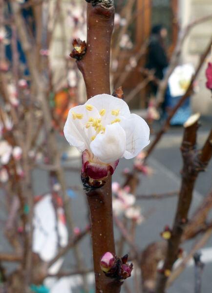 Prunus armeniaca L. 'Reale di Imola'