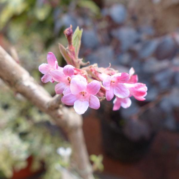 Viburnum x bodnantense Stearn 'Dawn'