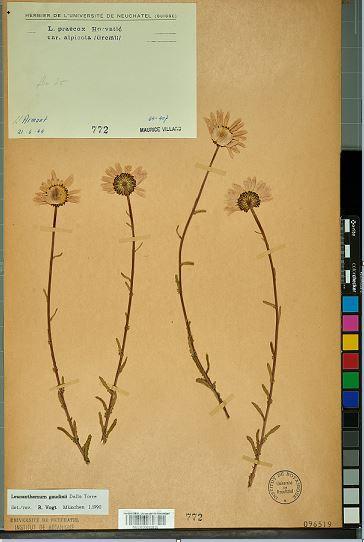 Leucanthemum gaudinii Dalla Torre