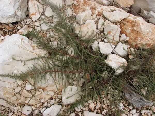 Polycnemum verrucosum Láng