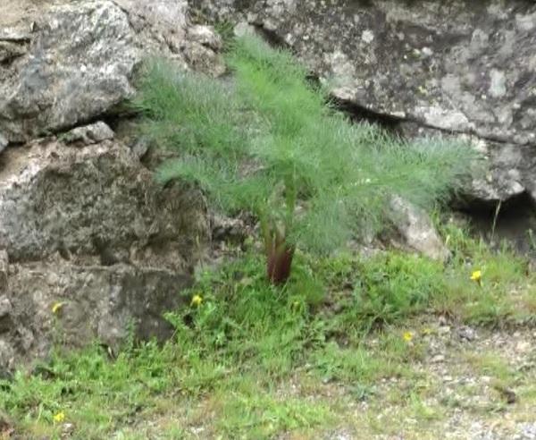 Peucedanum paniculatum Loisel.