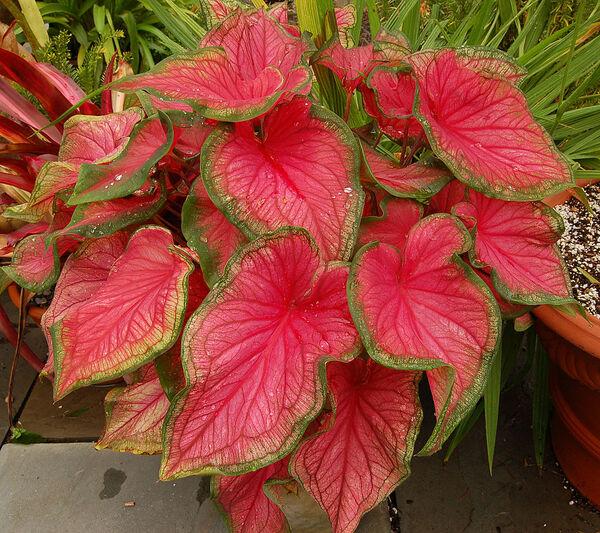 Caladium bicolor (Aiton) Vent.