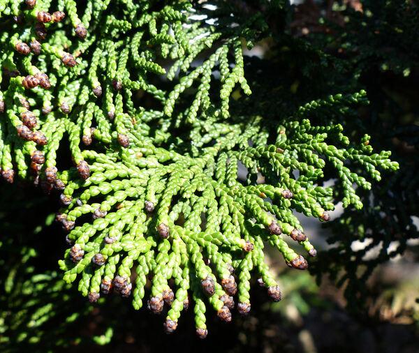 Chamaecyparis obtusa (Siebold & Zucc.) Endl. 'Nana Glabra'
