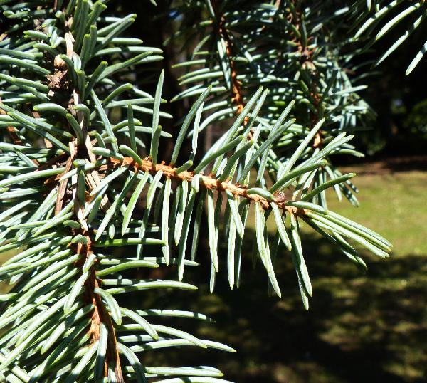 Picea pungens Engelm. 'Glauca'