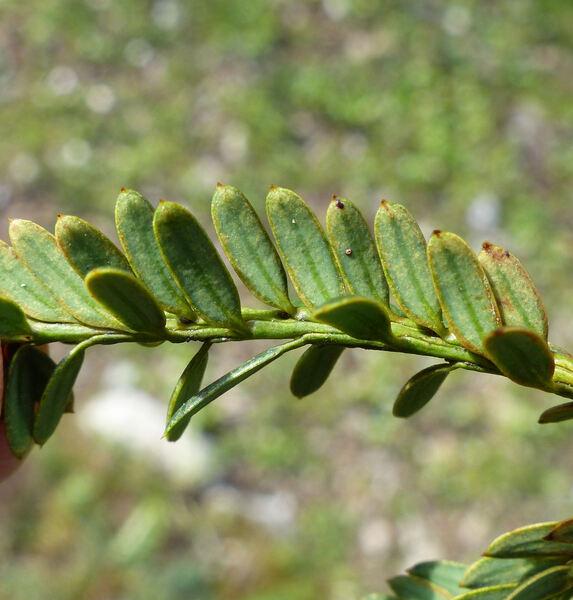 Taxus baccata L. 'Adpressa'