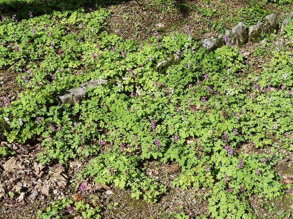 Corydalis cava (L.) Schweigg. & Körte subsp. cava