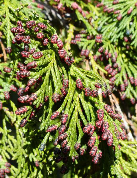 Chamaecyparis lawsoniana (A.Murray) Parl. 'Alumigold'
