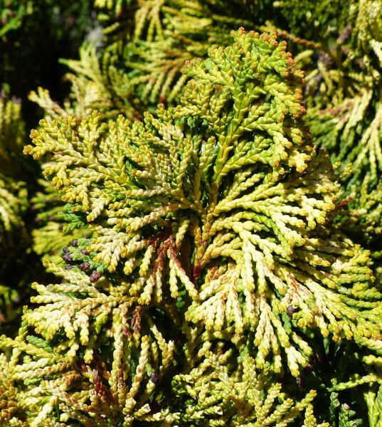 Chamaecyparis obtusa (Siebold & Zucc.) Endl. 'Aurea'