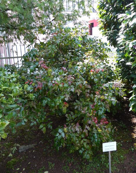 Mahonia japonica (Thunb.) DC.