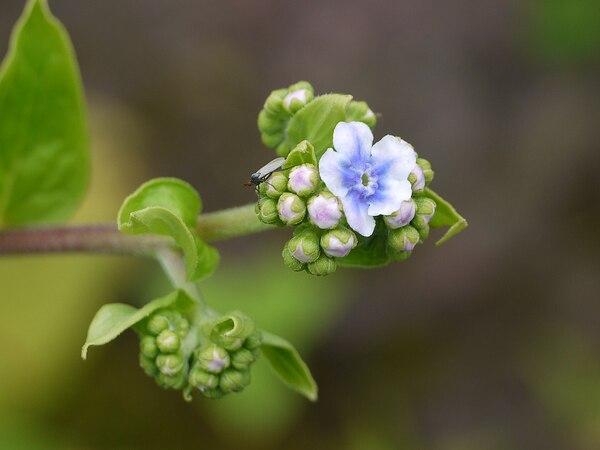Adelocaryum coelestinum (Lindl.) Brand