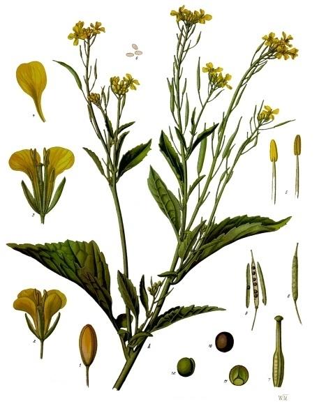 Brassica juncea (L.) Czern.