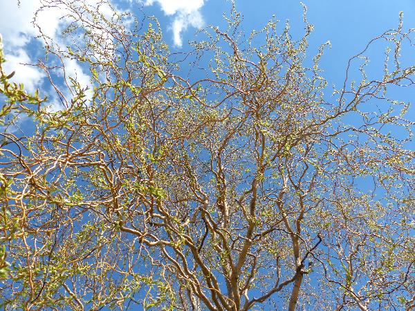 Salix alba L. var. vitellina (L.) Ser.