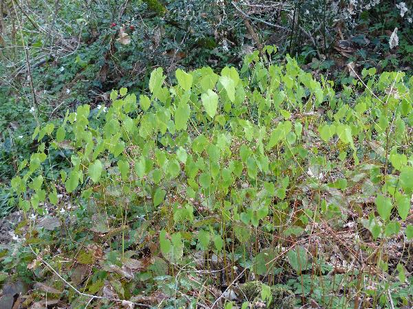 Epimedium alpinum L.