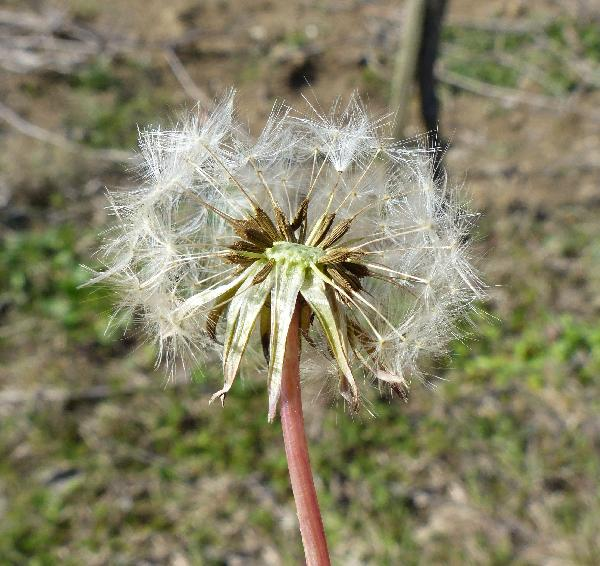 Taraxacum F.H.Wigg. sect. Taraxacum