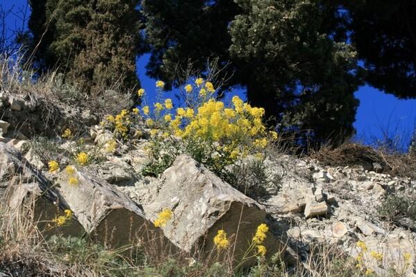 Erucastrum nasturtiifolium (Poir.) O.E.Schulz subsp. benacense F.Martini & F.Fen.