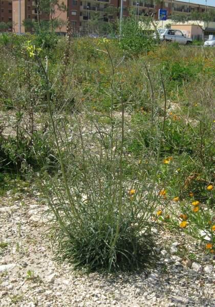 Erysimum crassistylum C.Presl subsp. garganicum Peccenini & Polatschek