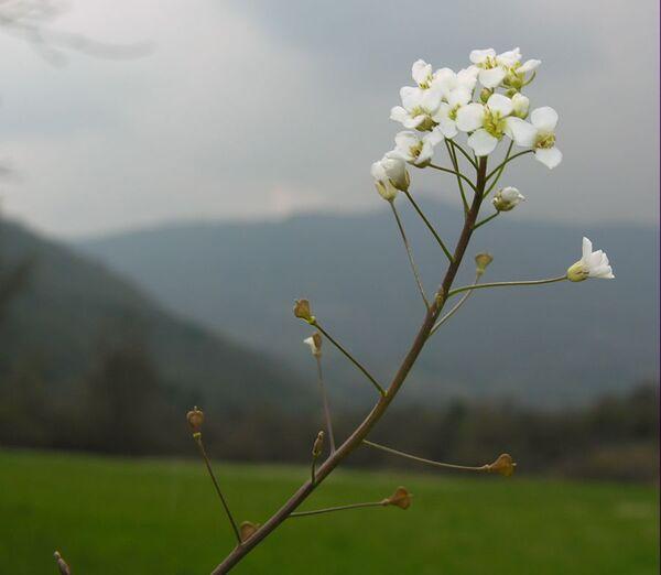 Capsella grandiflora (Fauché & Chaub.) Boiss.