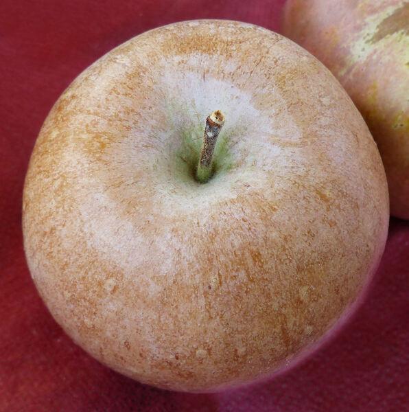 Malus domestica (Borkh.) Borkh. 'Olio Piacentino'