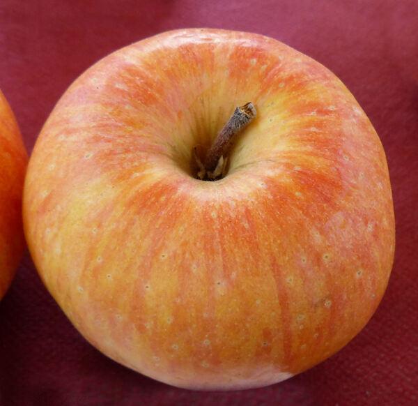 Malus domestica (Borkh.) Borkh. 'Florina'