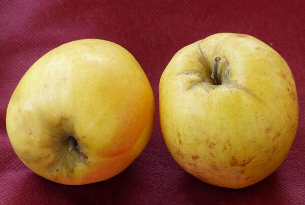 Malus domestica (Borkh.) Borkh. 'Pomme Cloche'