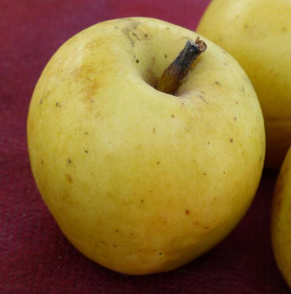 Malus domestica (Borkh.) Borkh. 'Limoncella'