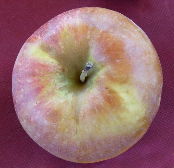 Malus domestica (Suckow) Borkh. 'Blenheim Orange'
