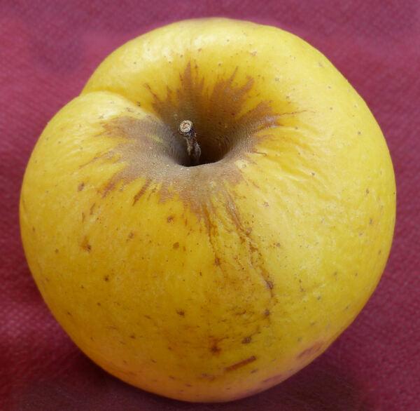 Malus domestica (Borkh.) Borkh. 'Mutsu'