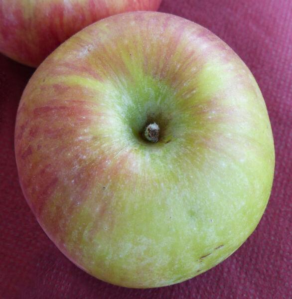 Malus domestica (Borkh.) Borkh. 'Snow Apple'
